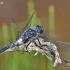 Baltakaktė skėtė - Leucorrhinia albifrons ♂  | Fotografijos autorius : Deividas Makavičius | © Macrogamta.lt | Šis tinklapis priklauso bendruomenei kuri domisi makro fotografija ir fotografuoja gyvąjį makro pasaulį.