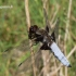 Libellula depressa - Plokščioji skėtė | Fotografijos autorius : Deividas Makavičius | © Macrogamta.lt | Šis tinklapis priklauso bendruomenei kuri domisi makro fotografija ir fotografuoja gyvąjį makro pasaulį.