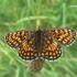 Melitaea athalia - Paprastoji šaškytė   Fotografijos autorius : Deividas Makavičius   © Macrogamta.lt   Šis tinklapis priklauso bendruomenei kuri domisi makro fotografija ir fotografuoja gyvąjį makro pasaulį.