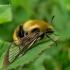 Hemaris tityus - Juosvasis kamaninis sfinksas | Fotografijos autorius : Deividas Makavičius | © Macrogamta.lt | Šis tinklapis priklauso bendruomenei kuri domisi makro fotografija ir fotografuoja gyvąjį makro pasaulį.