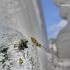 Gibbaranea gibbosa - Žalsvasis kuprius | Fotografijos autorius : Deividas Makavičius | © Macrogamta.lt | Šis tinklapis priklauso bendruomenei kuri domisi makro fotografija ir fotografuoja gyvąjį makro pasaulį.
