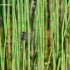 Leucorrhinia pectoralis - Šarvuotoji skėtė   Fotografijos autorius : Deividas Makavičius   © Macrogamta.lt   Šis tinklapis priklauso bendruomenei kuri domisi makro fotografija ir fotografuoja gyvąjį makro pasaulį.