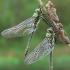 Cordulia aenea - Bronzinė skėtė | Fotografijos autorius : Deividas Makavičius | © Macrogamta.lt | Šis tinklapis priklauso bendruomenei kuri domisi makro fotografija ir fotografuoja gyvąjį makro pasaulį.