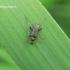Rudaūsis karnadiris - Grammoptera ruficornis | Fotografijos autorius : Deividas Makavičius | © Macrogamta.lt | Šis tinklapis priklauso bendruomenei kuri domisi makro fotografija ir fotografuoja gyvąjį makro pasaulį.
