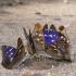 Apatura ilia - Puošnioji vaiva | Fotografijos autorius : Deividas Makavičius | © Macrogamta.lt | Šis tinklapis priklauso bendruomenei kuri domisi makro fotografija ir fotografuoja gyvąjį makro pasaulį.
