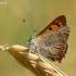 Lycaena phlaeas - Mažasis auksinukas | Fotografijos autorius : Deividas Makavičius | © Macrogamta.lt | Šis tinklapis priklauso bendruomenei kuri domisi makro fotografija ir fotografuoja gyvąjį makro pasaulį.