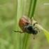 Phyllopertha horticola - Grikinukas / Sodinis grambuoliukas   Fotografijos autorius : Nomeda Vėlavičienė   © Macrogamta.lt   Šis tinklapis priklauso bendruomenei kuri domisi makro fotografija ir fotografuoja gyvąjį makro pasaulį.