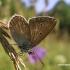 Baltajuostis melsvys - Eumedonia eumedon | Fotografijos autorius : Nomeda Vėlavičienė | © Macrogamta.lt | Šis tinklapis priklauso bendruomenei kuri domisi makro fotografija ir fotografuoja gyvąjį makro pasaulį.
