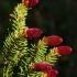Paprastoji eglė - Picea abies   Fotografijos autorius : Nomeda Vėlavičienė   © Macrogamta.lt   Šis tinklapis priklauso bendruomenei kuri domisi makro fotografija ir fotografuoja gyvąjį makro pasaulį.