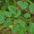 Plačialapis begalis - Laserpitium latifolium | Fotografijos autorius : Nomeda Vėlavičienė | © Macrogamta.lt | Šis tinklapis priklauso bendruomenei kuri domisi makro fotografija ir fotografuoja gyvąjį makro pasaulį.