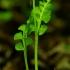 Paprastasis varpenis - Botrychium lunaria | Fotografijos autorius : Nomeda Vėlavičienė | © Macrogamta.lt | Šis tinklapis priklauso bendruomenei kuri domisi makro fotografija ir fotografuoja gyvąjį makro pasaulį.