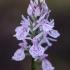Dėmėtoji gegūnė - Dactylorhiza maculata  | Fotografijos autorius : Nomeda Vėlavičienė | © Macrogamta.lt | Šis tinklapis priklauso bendruomenei kuri domisi makro fotografija ir fotografuoja gyvąjį makro pasaulį.