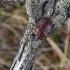Jalla dumosa - Raudondėmė skydblakė | Fotografijos autorius : Nomeda Vėlavičienė | © Macrogamta.lt | Šis tinklapis priklauso bendruomenei kuri domisi makro fotografija ir fotografuoja gyvąjį makro pasaulį.