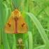 Diacrisia sannio - Pievinė meškutė   Fotografijos autorius : Nomeda Vėlavičienė   © Macrogamta.lt   Šis tinklapis priklauso bendruomenei kuri domisi makro fotografija ir fotografuoja gyvąjį makro pasaulį.