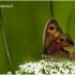Maniola jurtina - Paprastasis jautakis satyras | Fotografijos autorius : Valdimantas Grigonis | © Macrogamta.lt | Šis tinklapis priklauso bendruomenei kuri domisi makro fotografija ir fotografuoja gyvąjį makro pasaulį.
