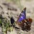 Apatura ilia - Puošnioji vaiva | Fotografijos autorius : Valdimantas Grigonis | © Macrogamta.lt | Šis tinklapis priklauso bendruomenei kuri domisi makro fotografija ir fotografuoja gyvąjį makro pasaulį.