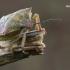 Carpocoris purpureipennis - Rausvasparnė skydblakė | Fotografijos autorius : Vilius Grigaliūnas | © Macrogamta.lt | Šis tinklapis priklauso bendruomenei kuri domisi makro fotografija ir fotografuoja gyvąjį makro pasaulį.