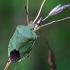 Medinė skydblakė - Palomena prasina | Fotografijos autorius : Vilius Grigaliūnas | © Macrogamta.lt | Šis tinklapis priklauso bendruomenei kuri domisi makro fotografija ir fotografuoja gyvąjį makro pasaulį.