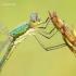 Lestes dryas - Blizgančioji strėliukė | Fotografijos autorius : Vilius Grigaliūnas | © Macrogamta.lt | Šis tinklapis priklauso bendruomenei kuri domisi makro fotografija ir fotografuoja gyvąjį makro pasaulį.
