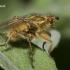 Scathophaga stercoraria – Geltonoji mėšlamusė | Fotografijos autorius : Vilius Grigaliūnas | © Macrogamta.lt | Šis tinklapis priklauso bendruomenei kuri domisi makro fotografija ir fotografuoja gyvąjį makro pasaulį.