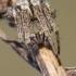 Agalenatea redii - Rudasis rezginuolis | Fotografijos autorius : Vilius Grigaliūnas | © Macrogamta.lt | Šis tinklapis priklauso bendruomenei kuri domisi makro fotografija ir fotografuoja gyvąjį makro pasaulį.