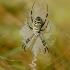 Paprastasis vapsvavoris - Agriope bruennichi | Fotografijos autorius : Rasa Gražulevičiūtė | © Macrogamta.lt | Šis tinklapis priklauso bendruomenei kuri domisi makro fotografija ir fotografuoja gyvąjį makro pasaulį.