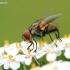 Opesia grandis - Dygliamusė | Fotografijos autorius : Gediminas Gražulevičius | © Macrogamta.lt | Šis tinklapis priklauso bendruomenei kuri domisi makro fotografija ir fotografuoja gyvąjį makro pasaulį.