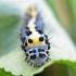Diloba caeruleocephala - Mėlyngalvė diloba   Fotografijos autorius : Rasa Gražulevičiūtė   © Macrogamta.lt   Šis tinklapis priklauso bendruomenei kuri domisi makro fotografija ir fotografuoja gyvąjį makro pasaulį.