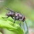 Tikramusė - Limnophora sp. | Fotografijos autorius : Gediminas Gražulevičius | © Macrogamta.lt | Šis tinklapis priklauso bendruomenei kuri domisi makro fotografija ir fotografuoja gyvąjį makro pasaulį.