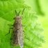 Žabalis - Haematopota pluvialis  | Fotografijos autorius : Rasa Gražulevičiūtė | © Macrogamta.lt | Šis tinklapis priklauso bendruomenei kuri domisi makro fotografija ir fotografuoja gyvąjį makro pasaulį.