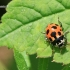 Hippodamia notata - Dilgėlinė boružė | Fotografijos autorius : Gediminas Gražulevičius | © Macrogamta.lt | Šis tinklapis priklauso bendruomenei kuri domisi makro fotografija ir fotografuoja gyvąjį makro pasaulį.