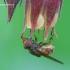 Rhingia campestris - Žiedmusė   Fotografijos autorius : Gediminas Gražulevičius   © Macrogamta.lt   Šis tinklapis priklauso bendruomenei kuri domisi makro fotografija ir fotografuoja gyvąjį makro pasaulį.
