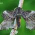 Laothoe amurensis - Amūrinis sfinksas   Fotografijos autorius : Gediminas Gražulevičius   © Macrogamta.lt   Šis tinklapis priklauso bendruomenei kuri domisi makro fotografija ir fotografuoja gyvąjį makro pasaulį.