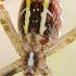 Paprastasis vapsvavoris - Agriope bruennichi iš apačios   Fotografijos autorius : Gediminas Gražulevičius   © Macrogamta.lt   Šis tinklapis priklauso bendruomenei kuri domisi makro fotografija ir fotografuoja gyvąjį makro pasaulį.