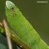 Akiuotasis sfinksas - Smerinthus ocellata | Fotografijos autorius : Rasa Gražulevičiūtė | © Macrogamta.lt | Šis tinklapis priklauso bendruomenei kuri domisi makro fotografija ir fotografuoja gyvąjį makro pasaulį.