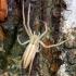 Tibellus oblongus - Ilgasis laibavoris   Fotografijos autorius : Gediminas Gražulevičius   © Macrogamta.lt   Šis tinklapis priklauso bendruomenei kuri domisi makro fotografija ir fotografuoja gyvąjį makro pasaulį.
