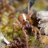 Arctosa alpigena lamperti - Pasalūnas   Fotografijos autorius : Gediminas Gražulevičius   © Macrogamta.lt   Šis tinklapis priklauso bendruomenei kuri domisi makro fotografija ir fotografuoja gyvąjį makro pasaulį.