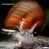 Helix pomatia - Vynuoginė sraigė | Fotografijos autorius : Rasa Gražulevičiūtė | © Macrogamta.lt | Šis tinklapis priklauso bendruomenei kuri domisi makro fotografija ir fotografuoja gyvąjį makro pasaulį.