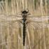 Epitheca bimaculata - Dvidėmė skėtė | Fotografijos autorius : Vytautas Uselis | © Macrogamta.lt | Šis tinklapis priklauso bendruomenei kuri domisi makro fotografija ir fotografuoja gyvąjį makro pasaulį.