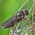 Žalutė - Cheilosia flavipes   Fotografijos autorius : Armandas Kazlauskas   © Macrogamta.lt   Šis tinklapis priklauso bendruomenei kuri domisi makro fotografija ir fotografuoja gyvąjį makro pasaulį.