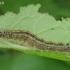 Žieduotojo verpiko - Malacosoma neustria vikšras | Fotografijos autorius : Armandas Kazlauskas | © Macrogamta.lt | Šis tinklapis priklauso bendruomenei kuri domisi makro fotografija ir fotografuoja gyvąjį makro pasaulį.