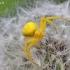 Geltonasis žiedvoris - Misumena vatia | Fotografijos autorius : Armandas Kazlauskas | © Macrogamta.lt | Šis tinklapis priklauso bendruomenei kuri domisi makro fotografija ir fotografuoja gyvąjį makro pasaulį.