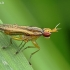 Sraigžudė - Limnia unguicornis | Fotografijos autorius : Armandas Kazlauskas | © Macrogamta.lt | Šis tinklapis priklauso bendruomenei kuri domisi makro fotografija ir fotografuoja gyvąjį makro pasaulį.