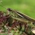 Viksvinis skėrys - Stethophyma grossum | Fotografijos autorius : Armandas Kazlauskas | © Macrogamta.lt | Šis tinklapis priklauso bendruomenei kuri domisi makro fotografija ir fotografuoja gyvąjį makro pasaulį.