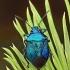 Mėlynoji skydblakė - Zicrona caerulea | Fotografijos autorius : Armandas Kazlauskas | © Macrogamta.lt | Šis tinklapis priklauso bendruomenei kuri domisi makro fotografija ir fotografuoja gyvąjį makro pasaulį.