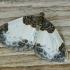 Gervuoginė cidarija - Mesoleuca albicillata | Fotografijos autorius : Armandas Kazlauskas | © Macrogamta.lt | Šis tinklapis priklauso bendruomenei kuri domisi makro fotografija ir fotografuoja gyvąjį makro pasaulį.