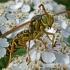 Pievinė popiervapsvė - Polistes nimpha | Fotografijos autorius : Vitalijus Bačianskas | © Macrogamta.lt | Šis tinklapis priklauso bendruomenei kuri domisi makro fotografija ir fotografuoja gyvąjį makro pasaulį.