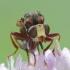 Lenktapilvė musė - Sicus ferrugineus    Fotografijos autorius : Aivaras Markauskas   © Macrogamta.lt   Šis tinklapis priklauso bendruomenei kuri domisi makro fotografija ir fotografuoja gyvąjį makro pasaulį.