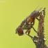Dygliamusė - Ectophasia crassipennis    Fotografijos autorius : Aivaras Markauskas   © Macrogamta.lt   Šis tinklapis priklauso bendruomenei kuri domisi makro fotografija ir fotografuoja gyvąjį makro pasaulį.