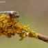 Upinė slankmusė - Atherix ibis   Fotografijos autorius : Aivaras Markauskas   © Macrogamta.lt   Šis tinklapis priklauso bendruomenei kuri domisi makro fotografija ir fotografuoja gyvąjį makro pasaulį.